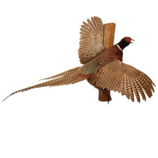 Mid-20th Century Taxidermy Ring Neck Pheasant