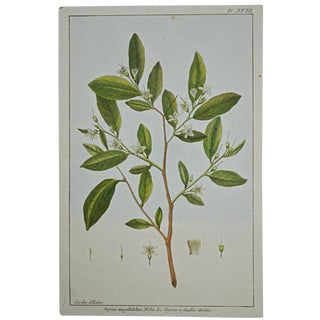 "Rare 18th Century Hand Colored Botanical Engraving Plate XVIII From ""Jardin D'Eden"" by Pierre Joseph Buchoz For Sale"