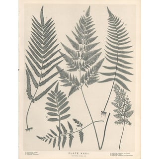 Late 19th Century New Zealand Ferns Botanical Lithograph For Sale