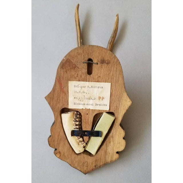 Roe Deer Antler Trophy With Foliate Carved Back For Sale - Image 4 of 4