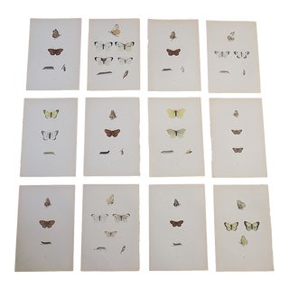 Antique 19th C. Lithographs-Butterflies -Period Hand Color - Set of 12 For Sale