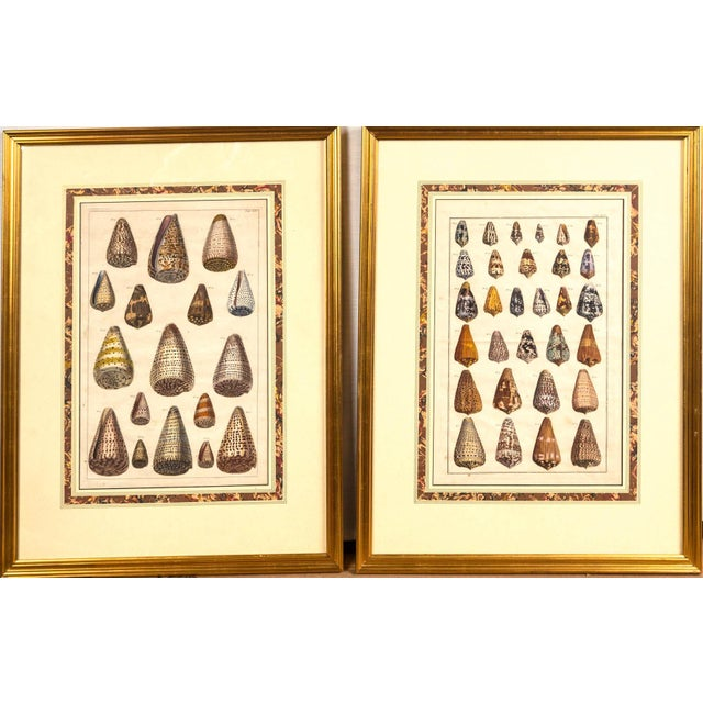 Nautical Pair of Framed Hand-Colored Lithographs of Shell Species, 19th Century For Sale - Image 3 of 11