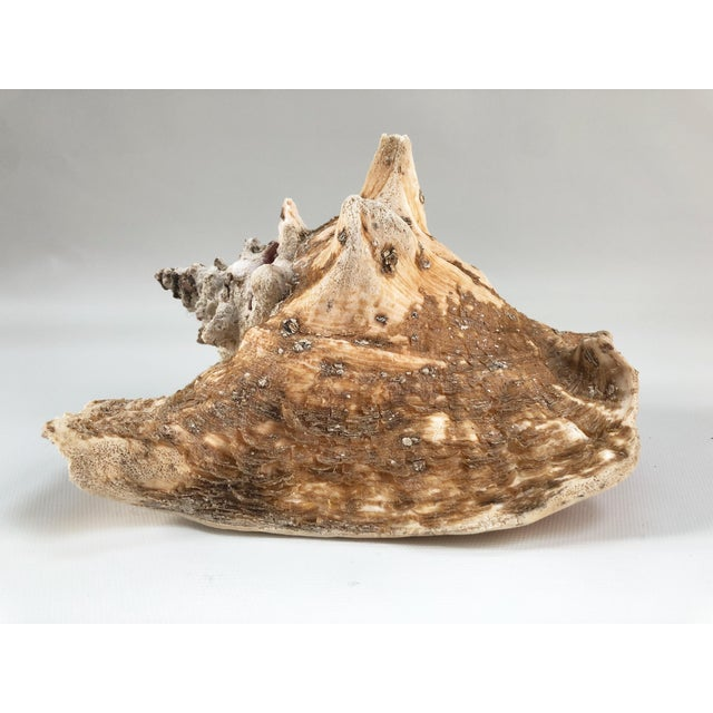 Mid 20th Century Natural Weathered Large Conch Shell For Sale - Image 5 of 9