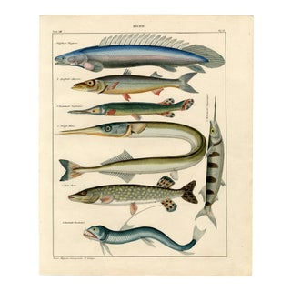 """""""Hechte"""", Original Antique Hand-Colored Lithograph For Sale"""