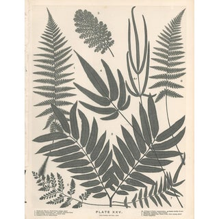 19th Century New Zealand Ferns Botanical Lithograph For Sale