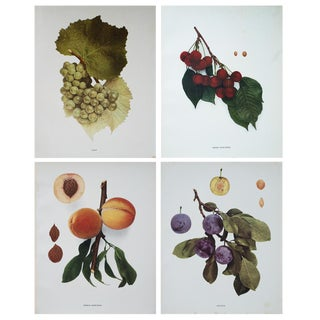1900s Fruits of New York, Original Photogravures by U. P. Hedrick - Set of 4 For Sale