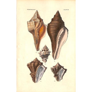 Shells, Antique Print 1882, Matted (No. 20) For Sale