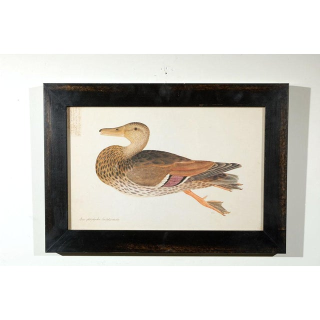 Set of five 17th century duck prints reprinted in the 1940s, new custom framing. Inquire for remaining five available.