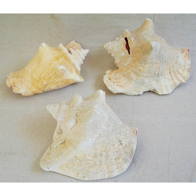 Natural Conch Seashells - Set of 3 - Image 3 of 7