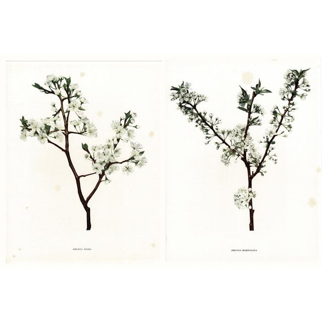 1900s Original Cherry Blossom Photogravures by Hedrick - a Pair For Sale - Image 10 of 11