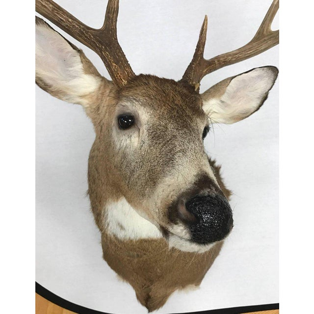 Beautiful eight-point deer head mount. Hardware on back ready to hang.