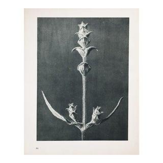 Karl Blossfeldt Photogravure N85-86, 1935