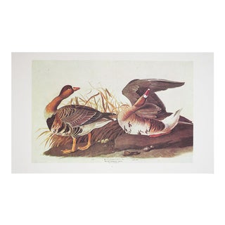 1960s Cottage Style Lithograph of White Fronted Goose by John James Audubon