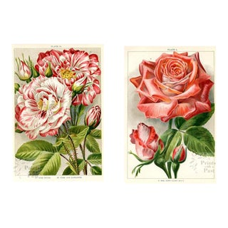 English Rose Prints, Early 1900s, - a Pair For Sale