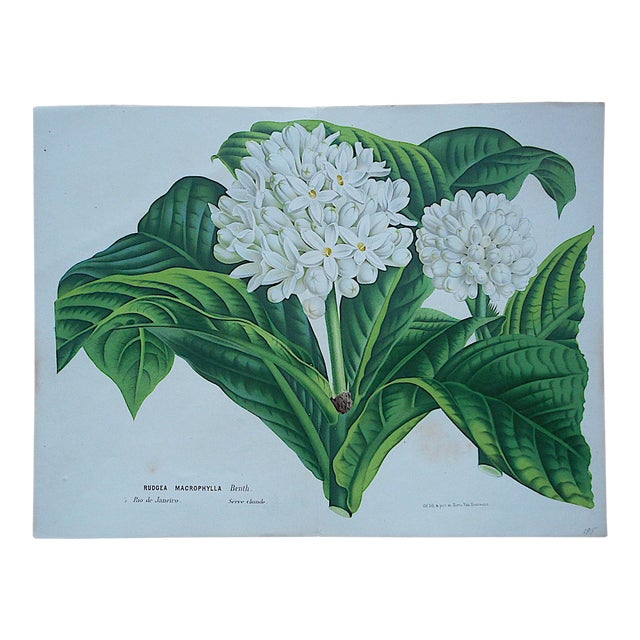 Antique Botanical Lithograph-19th Century-Folio Size For Sale