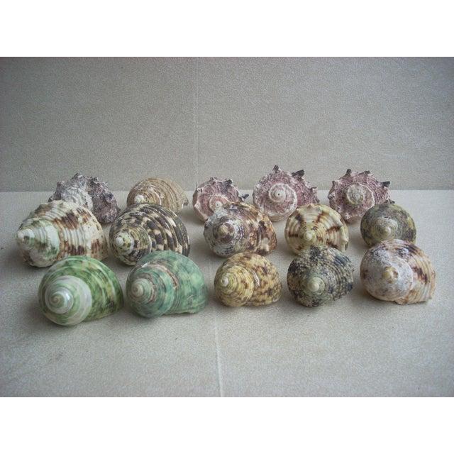 Natural Turban Seashells- Set of 15 - Image 2 of 5