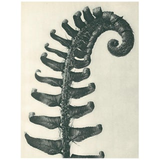 1928 Contemporary Original Photogravure by Karl Blossfeldt - N38 For Sale