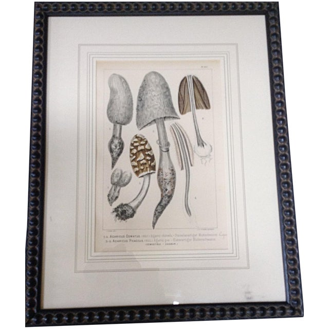 Botanical Lithograph of Grey Mushrooms - Image 1 of 4