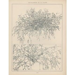 1904 Art Nouveau Botanical Drawing by Mucha