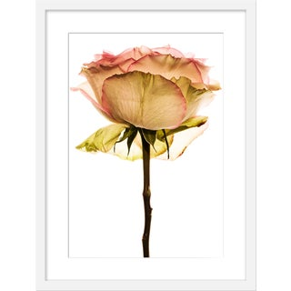 "Medium ""Rose"" Print by David Knight, 19"" X 25"" For Sale"