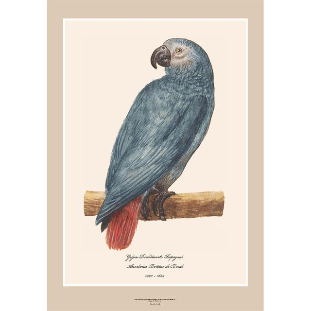 A beautiful reproduction print after another watercolor of Gray Red-Tailed Parrot by Anselmus Boëtius de Boodt (1550 -...