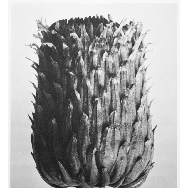 Lithograph 1935 Karl Blossfeldt Photogravure N74-73 For Sale - Image 7 of 12