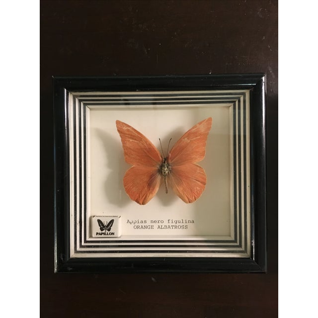 Framed Butterfly Specimens - Pair - Image 4 of 6