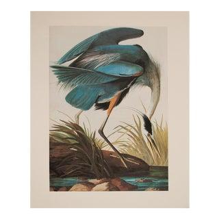 Large Lithograph of Great Blue Heron Audubon, 1966