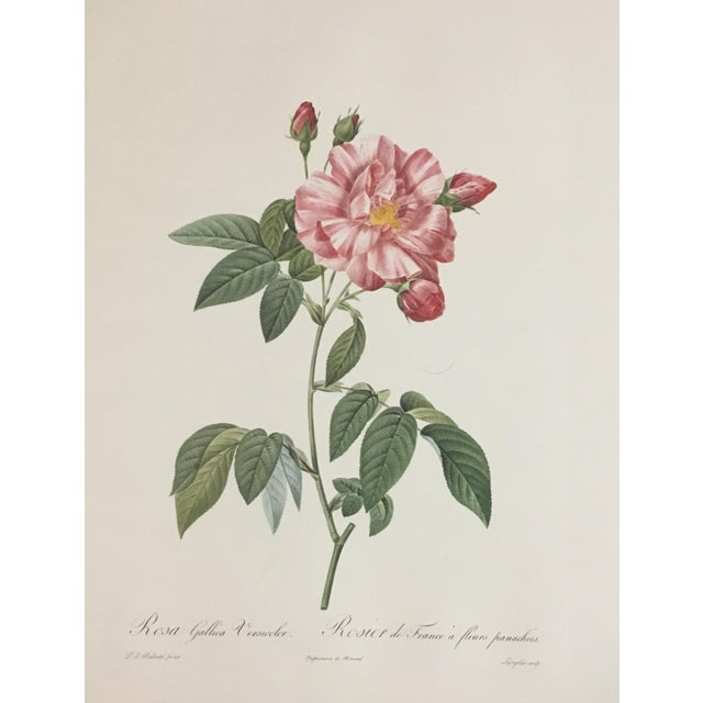 English Pair of Botanical Prints After Pierre-Joseph Redouté For Sale - Image 3 of 4