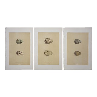 Antique Egg Lithographs-Set of 3-Wading Bird Eggs