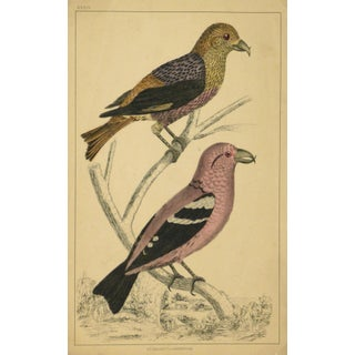 Antique Crossbill Birds Engraving, C. 1850