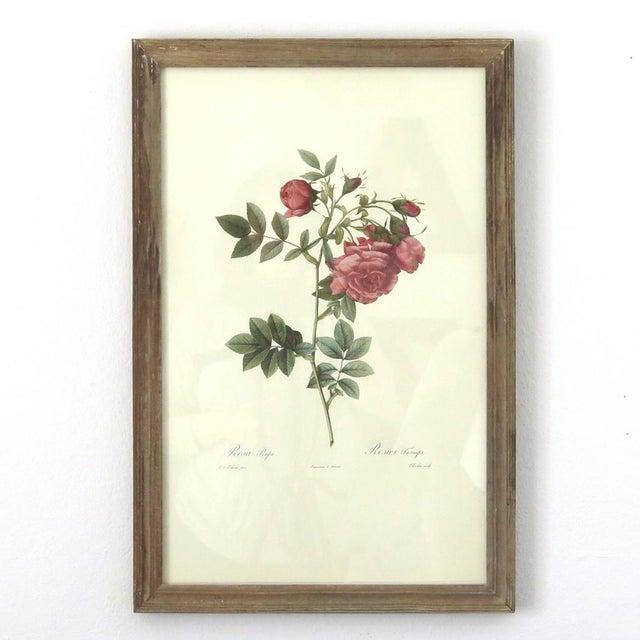 Antique Botanical Rose Print - Image 2 of 5