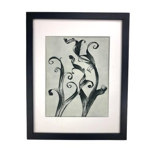 Framed Antique Photogravure Blossfeldt Botanical Print - No. 45 For Sale