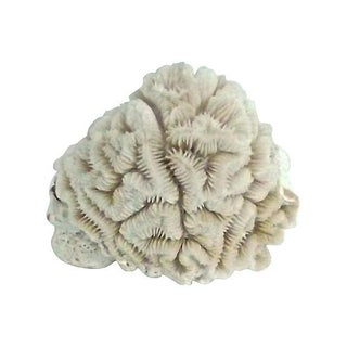 Small Brain Coral Specimen For Sale