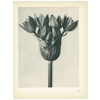 1928 Karl Blossfeldt Original Period Photogravure N94 of Allium Oreophilum For Sale