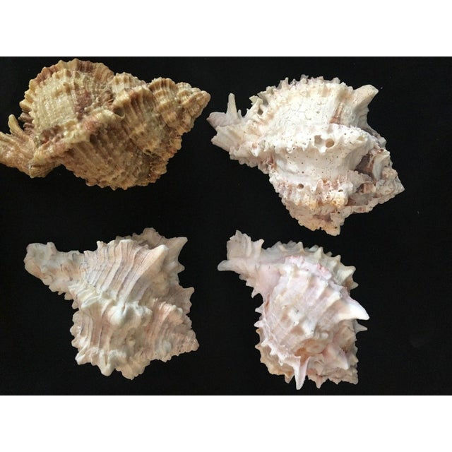 Murex Shell Lot - Set of 8 Shells For Sale - Image 9 of 12
