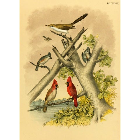 Image of Antique Song Bird Print, 1881