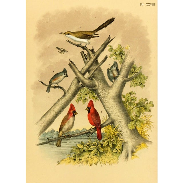 Antique Song Bird Print, 1881 - Image 1 of 3