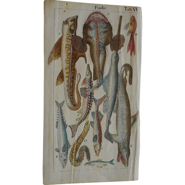 Antique Fish & Insect Engravings C.1700 - A Pair - Image 1 of 3