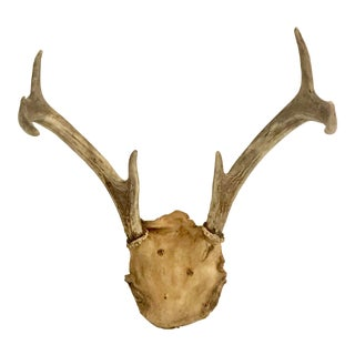 Midcentury White Tail Deer Antlers For Sale