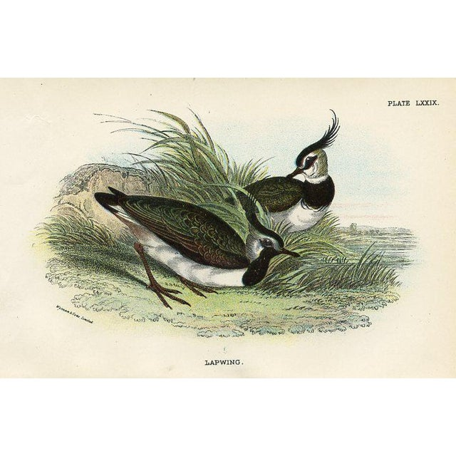 Pair of original chromolithograph Shorebird prints from an 1890s British natural history folio. Shown are Lapwings and a...