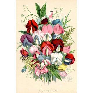 Sweet Peas, 1882 Botanical Print For Sale