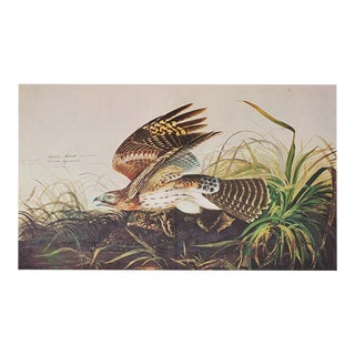 Audubon Print of Winter Hawk, 1966