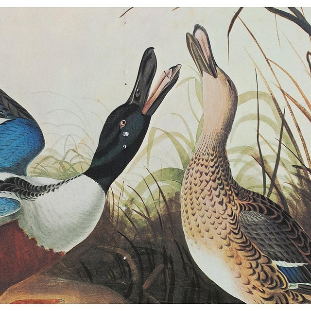 American Classical 1966 Vintage Lithograph of Shoveller Duck For Sale - Image 3 of 6