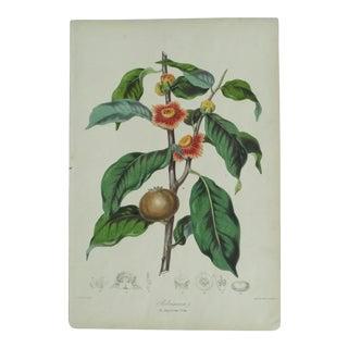 Mid 19th Century Antique Botanical Belvisiacea (Napolean Tribe) Print For Sale