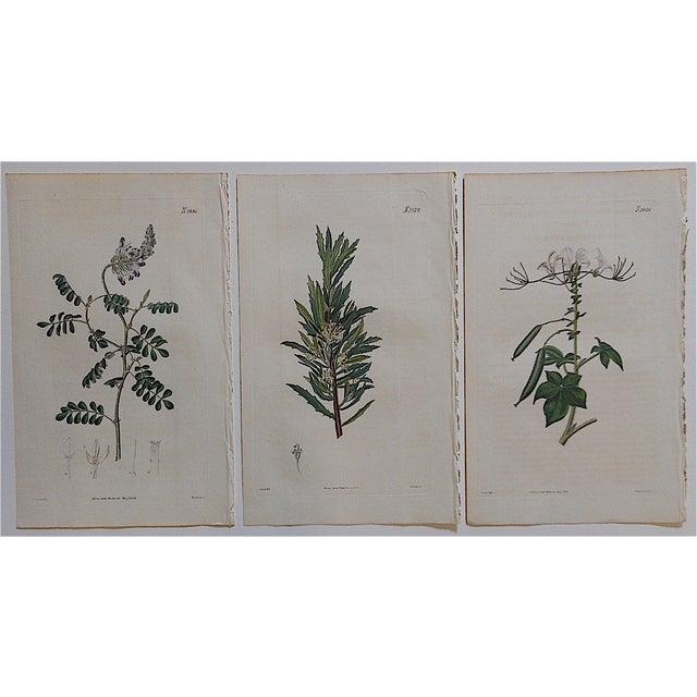 Antique Botanical Engravings - Set of 3 - Image 2 of 3