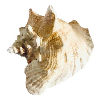 1970s Vintage Queen Conch For Sale