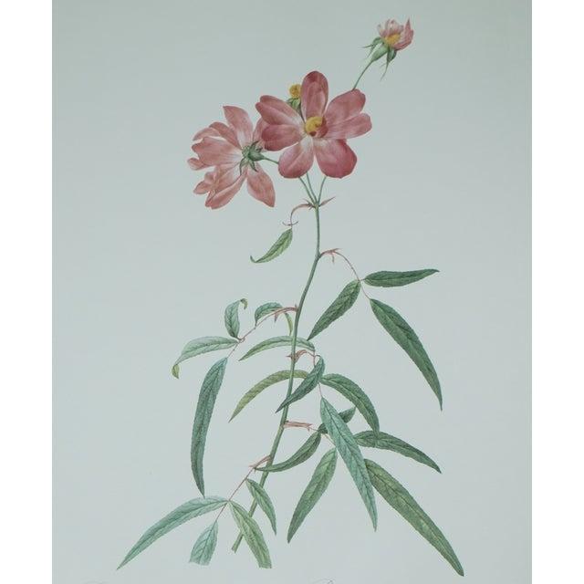Vintage Botanical Print of a Pink Rose - Image 4 of 5