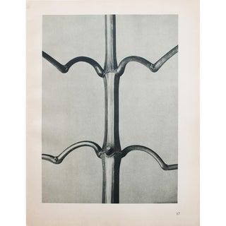 Karl Blossfeldt Photogravure N17-18, 1935