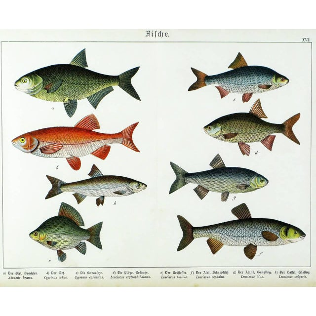 Colorful Trio 1880 Schubert German Lithographs of Aquatic Life For Sale In Chicago - Image 6 of 10